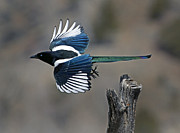 Pica Posters - Magpie In Flight  #0679 Poster by J L Woody Wooden