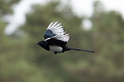 Simon West - Magpie in Flight
