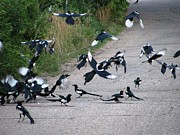 Magpies Tapestries Textiles - Magpies In Flight by Steven Parker