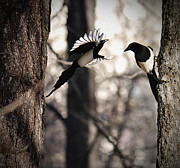 Magpies Photos - Magpies by Vladimir Kholostykh