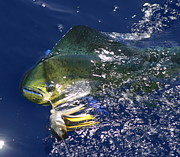 Dorado Photo Posters - Mahi  Poster by Carol Lynne