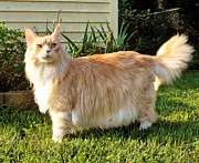 Judy Via-Wolff - Maine Coon Outside
