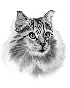 Maine Drawings Originals - Maine Coon by Sarah Dowson