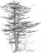 Jim Hubbard - Maine-Eastern White Pine