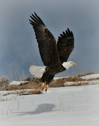 Big Horn  Photography - Majestic Bald Eagle
