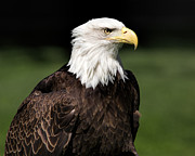 National Symbol Prints - Majestic Beauty Print by Dale Kincaid