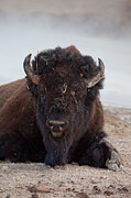 Eugene Dailey - Majestic Bison