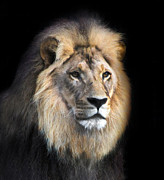 Lion Poster Prints - Majestic Black Print by Helen Akerstrom Photography
