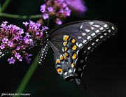Metamorphism Posters - Majestic Black Swallowtail Poster by JFantasma Photography