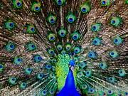 Majestic Blue Print by Karen Wiles