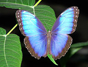 Noreen Hacohen Art - Majestic Blue Morpho by Noreen HaCohen