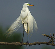 Great Egret Framed Prints - Majestic Great Egret Framed Print by Bob Christopher