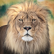 Zoo Framed Prints - Majestic King Framed Print by Everet Regal