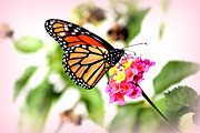 Pollenation Framed Prints - Majestic Monarch Butterfly Framed Print by Kathy  White