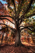 Battleground Prints - Majestic Oak - Autumn in Greensboro I Print by Dan Carmichael