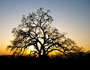 Oak Prints - Majestic Oak Tree Sunset Print by Liz Vernand