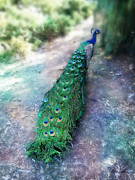 Diana Haronis - Majestic Peacock