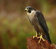 Birds Of Prey Print Prints - Majestic Peregrine Falcon in the Rain Print by Inspired Nature Photography By Shelley Myke