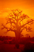 Baobab Posters - Majestic Sunset Tree Poster by Douglas Barnard