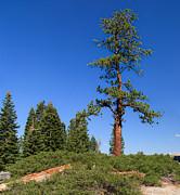 Charles Kozierok - Majestic Tree at Glacier Point