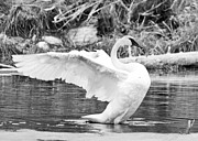 Cheryl Baxter Posters - Majestic Trumpeter Swan Poster by Cheryl Baxter