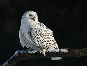 Snowy Night Art - Majestic Whisper - Snowy Owl by Inspired Nature Photography By Shelley Myke