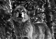 Timber Wolf Photos - Majesty by Aidan Moran