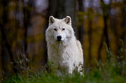Arctic Wolf Pics Posters - Majesty Poster by Wolves Only