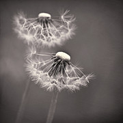 Flower Head Photos - make a wish I by Priska Wettstein