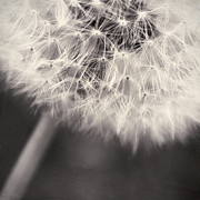 Flower Head Photos - make a wish III by Priska Wettstein