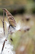 Brooke Ryan - Make a Wish - Milkweed...