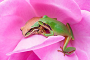 Pacific Tree Frog Metal Prints - Make Room Metal Print by Marvin Mast