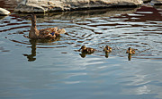 Ducklings Framed Prints - Make Way for Ducklings Framed Print by Suzanne Gaff