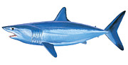 White Shark Metal Prints - Mako Shark Metal Print by Carey Chen