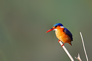 Malachite Kingfisher On A Reed Print by Johan Swanepoel