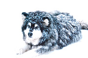 Malamute Prints - Malamute in the Snow Print by Cynthia Lagoudakis