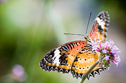 Tropical Rainforest Art - Malay lacewing butterfly by Oscar Gutierrez