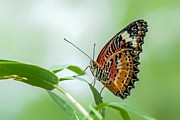 Tam Ryan - Malay Lacewing Butterfly
