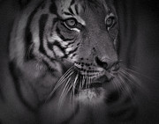 Asian Tiger Prints - Malayan Eyes Print by Adrian Tavano