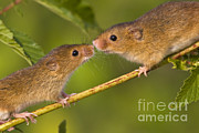 Male And Female Harvest Mice Print by Jean-Louis Klein and Marie-Luce Hubert
