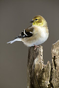 Backyard Goldfinch Digital Art Posters - Male American Goldfinch Poster by Gerald Marella