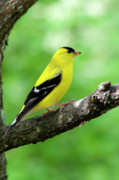 Songbird Framed Prints - Male American Goldfinch Framed Print by Thomas R Fletcher