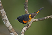 Neotropics Prints - Male American Redstart Print by Neil Bowman