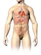 Heart Healthy Digital Art Posters - Male Anatomy Of Internal Organs Poster by Leonello Calvetti