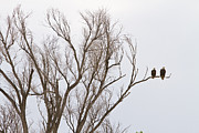 Bald Eagles Posters - Male and Female Bald Eagles Poster by James Bo Insogna