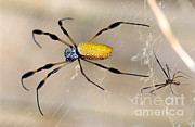 Big Spider Framed Prints - Male And Female Golden Silk Spiders Framed Print by Millard H. Sharp