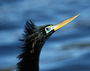 David Lynch Art - Male Anhinga 16X20 by David Lynch