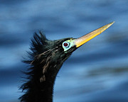 David Lynch Photo Prints - Male Anhinga 8x10 Print by David Lynch