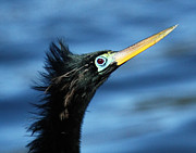David Lynch Metal Prints - Male Anhinga Mating Season Metal Print by David Lynch