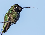 S. California Prints - Male Annas Hummingbird Print by Carl Jackson